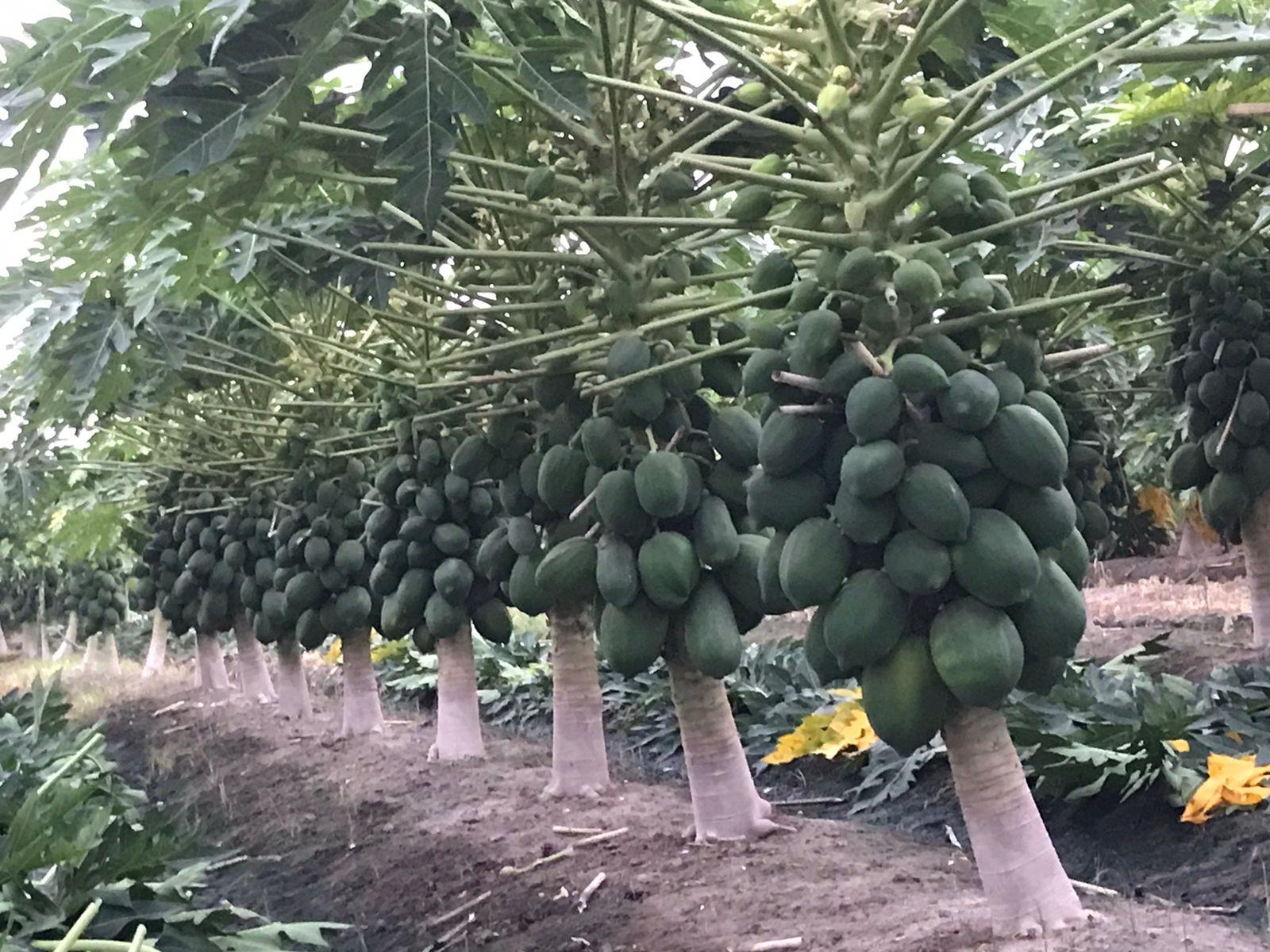 Papaya Management   Council for Social Development (CSD)